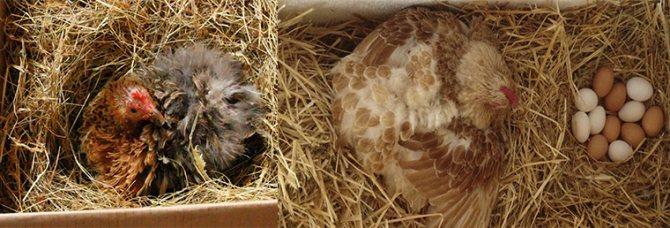 Сколько дней курица высиживает яйца до цыпленка