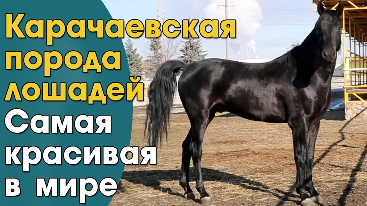 Знаменитые скакуны: самая маленькая лошадь в мире, самая быстрая и другие рекорды