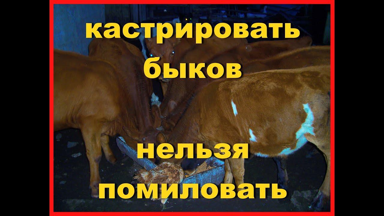 Кастрация быков: за и против! | fermer.ru - фермер.ру - главный фермерский портал - все о бизнесе в сельском хозяйстве. форум фермеров.