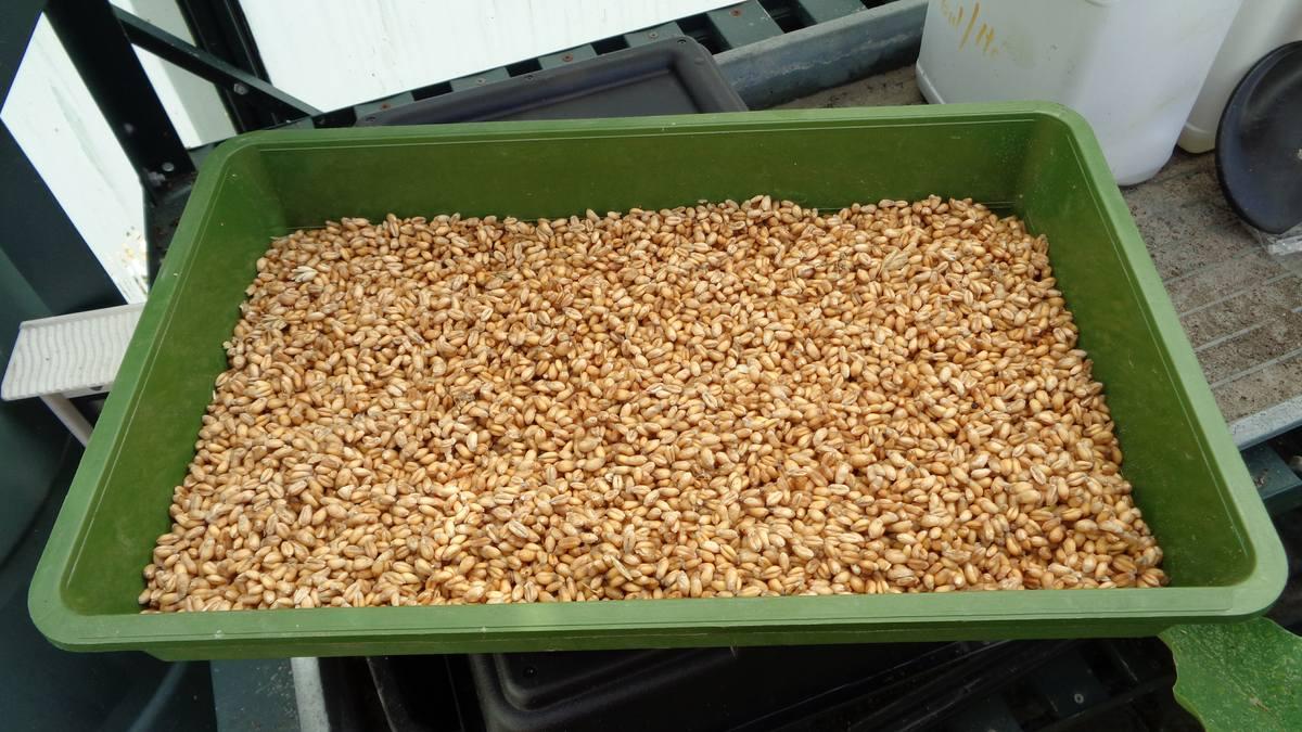 Зерно для кур: как прорастить? каким зерном кормить несушек  в домашних условиях? сколько зерна давать в сутки?
