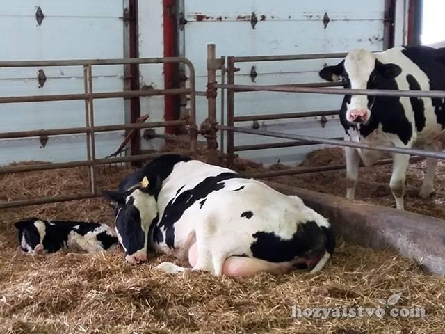 Как правильно запускать корову перед отелом. признаки приближающихся родов