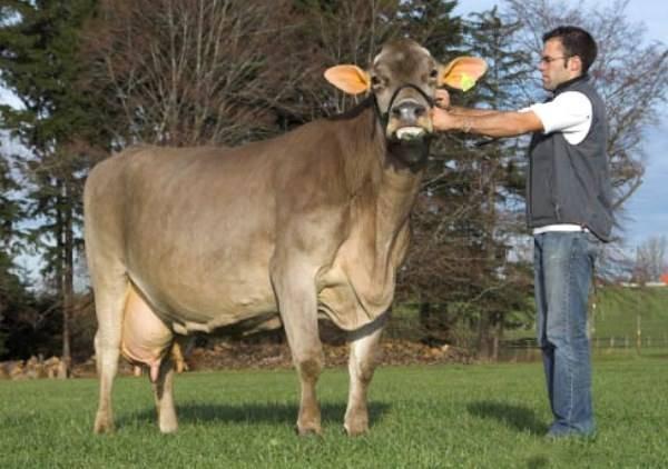 Быки мясной породы: названия и описания