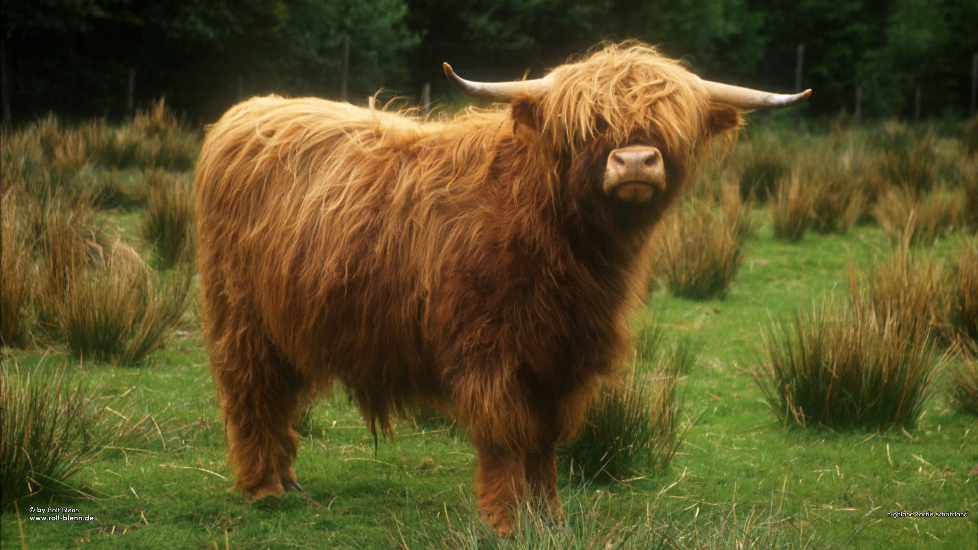 Плюшевая корова: описание породы, уход и происхождение животного