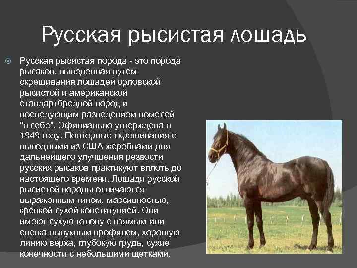 Рысак порода лошадей: американский, русский, орловский, немецкий и французский