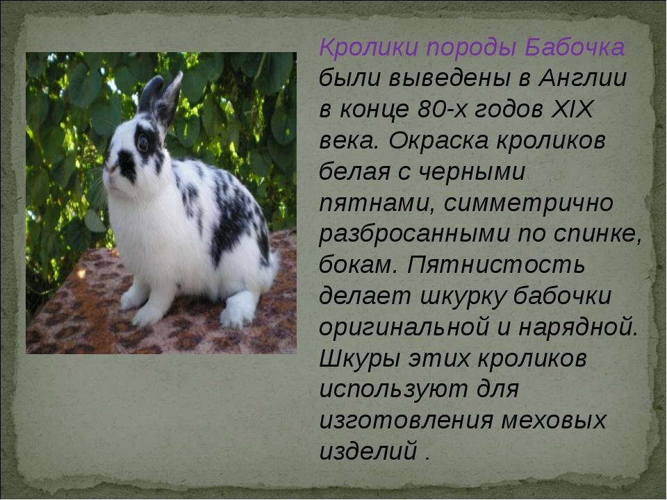 Кролик бабочка: описание породы, фото, содержание