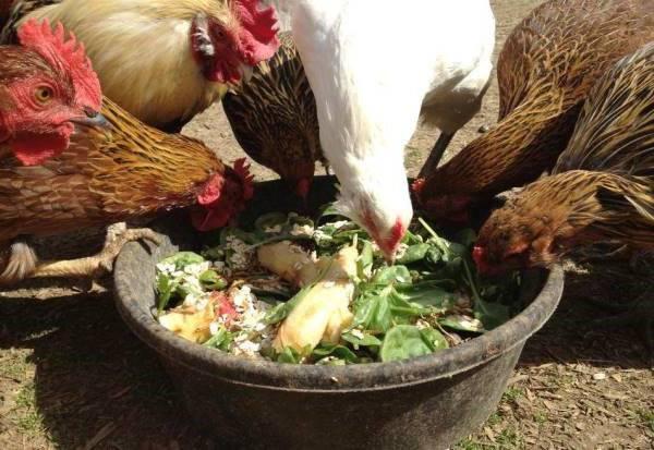 Чем можно и нельзя кормить кур