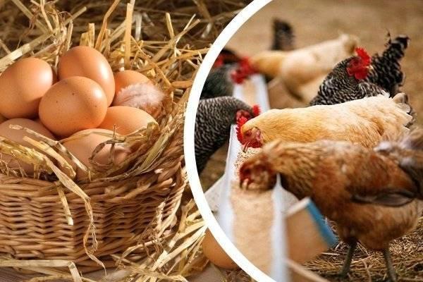 ✅ можно ли кормить кур хлебом, овсом, ячменем, ботвой, горохом: что давать нельзя - tehnomir32.ru