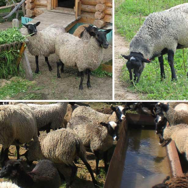 Можно ли стричь маленьких ягнят. как правильно стричь овец