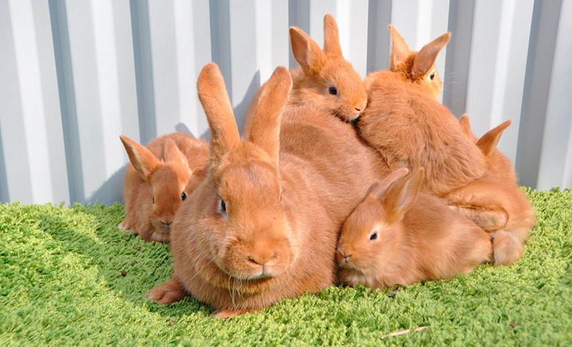 ✅ кролик с красными глазами. характеристики белого кролика