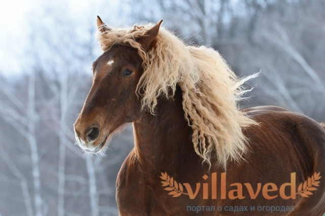 ✅ лошадь битюг: породы тяжеловозных, ломовых русских (советских) лошадей - tehnomir32.ru
