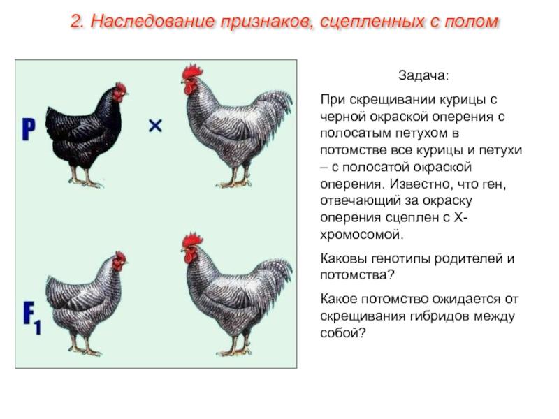 Гибрид курицы и фазана - мечети мира