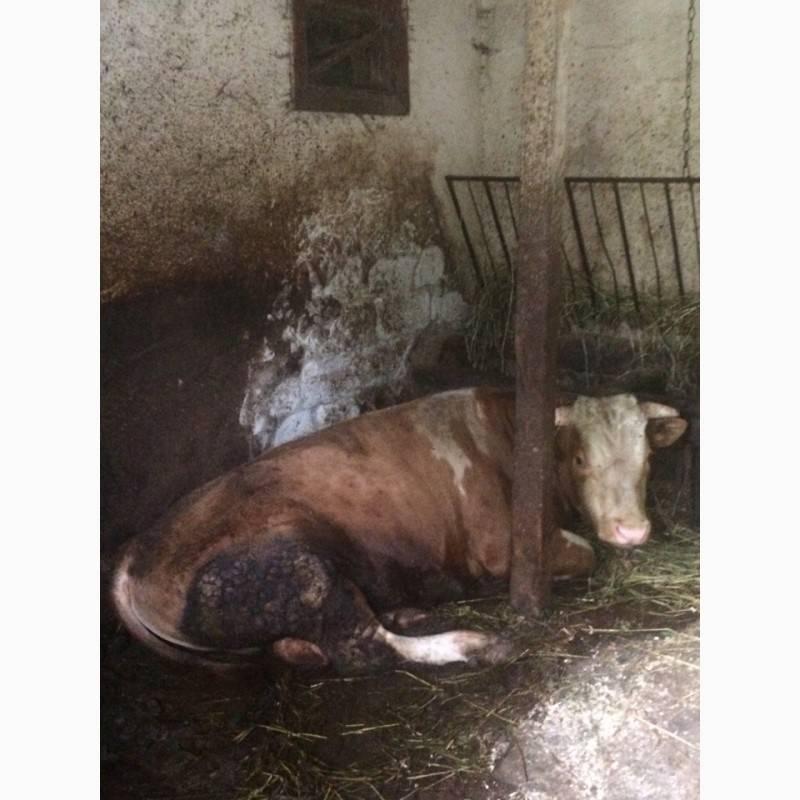 Лучшие породы коров - молочные, мясные, мясо-молочные