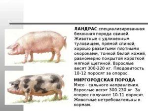 Характеристика породы свиней ландрас: разведение поросят, кормление и описание с фото и видео