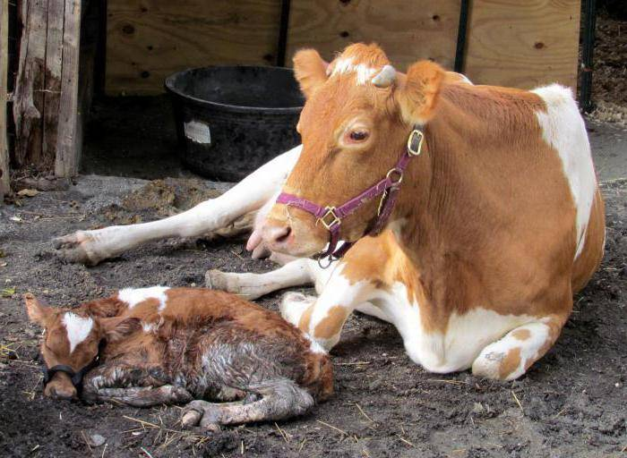 Почему у коровы горчит молоко: основные причины, опасные заболевания, методы лечения