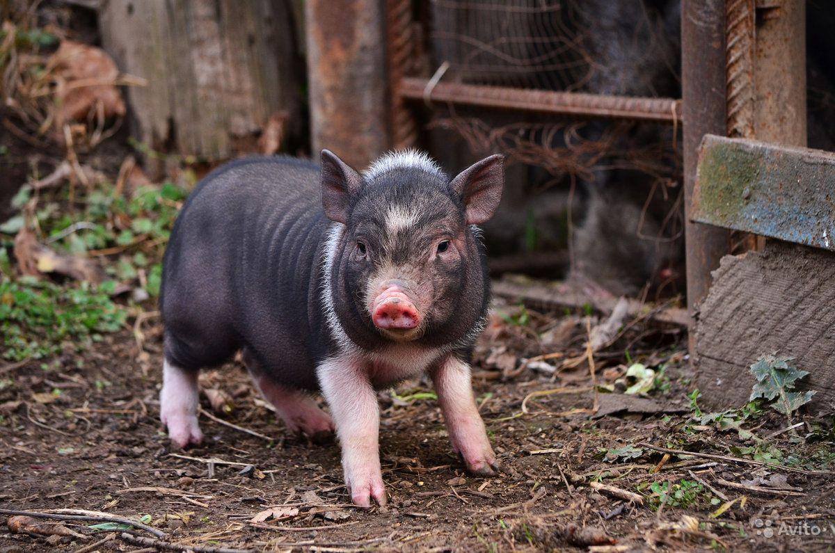 Как ухаживать и чем кормить вьетнамских свинок?