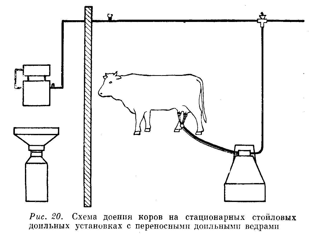 """Как правильно доить корову и корову-первотёлку""""технология доения коров:с помощью рук и доильным аппаратом"""