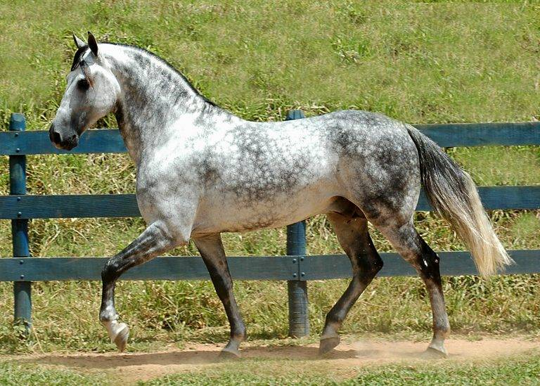 Серая в яблоках масть лошади(подмасток) | мои лошадки