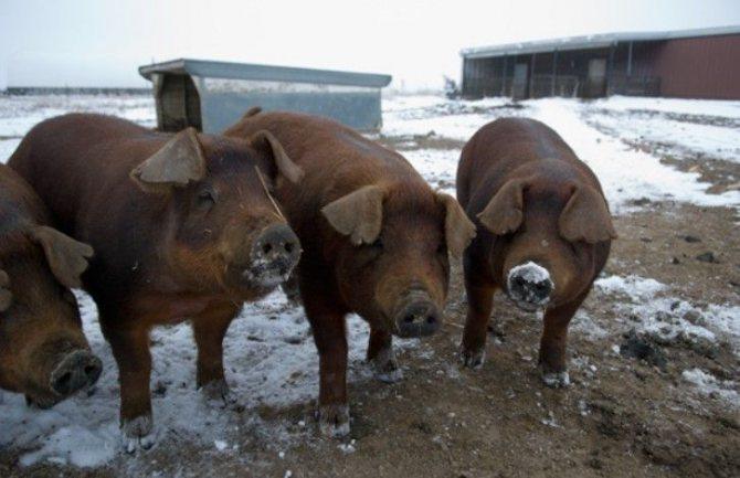 Характеристика породы свиней дюрок: условия содержания, преимущества и недостатки