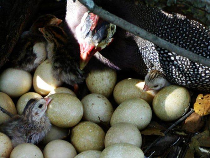 Особенности яйценоскости цесарок в домашних условиях