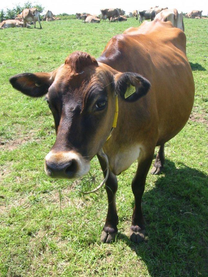 Самая маленькая порода коров — вечур
