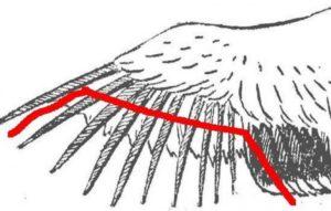 Можно ли обрезать у индюков крылья