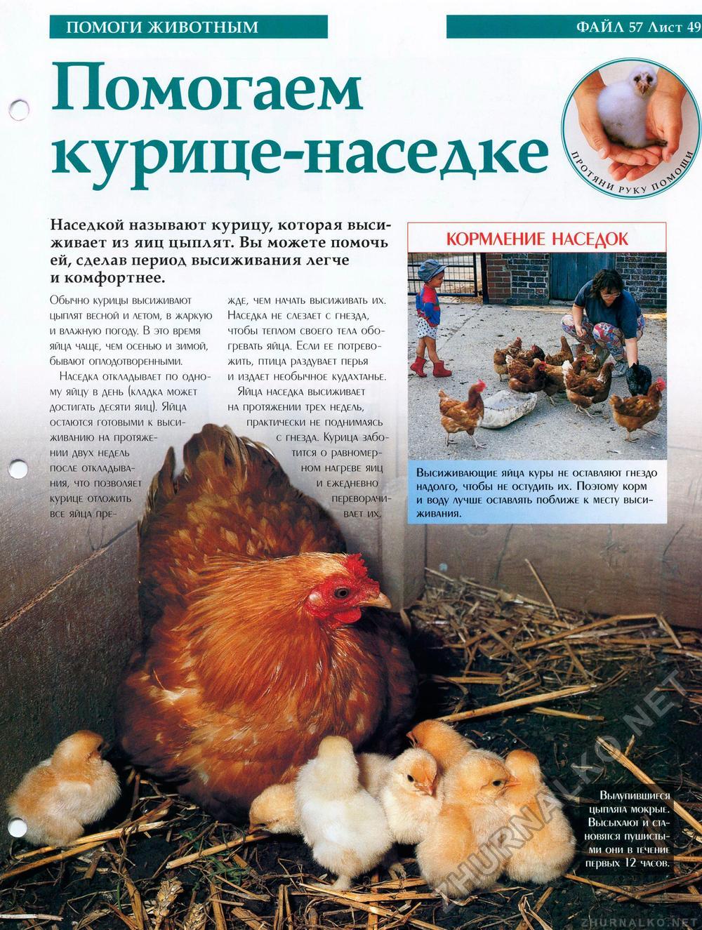 Сколько времени курица высиживает яйцо до появления цыпленка: положенное время и сроки