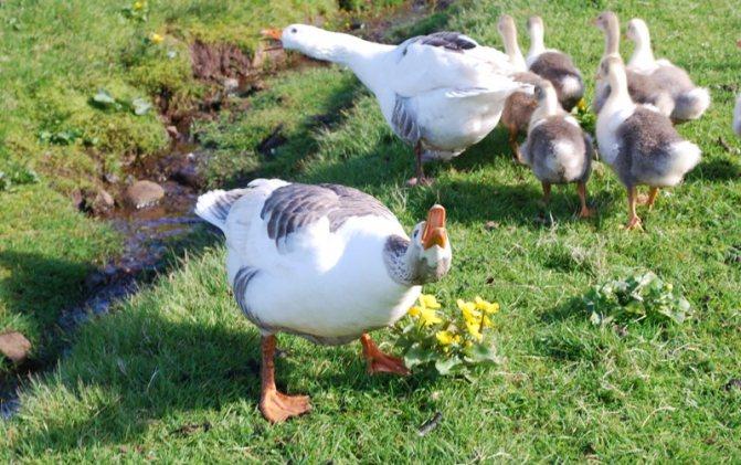 Кроссы кур. выращивание кур в домашних условиях для начинающих. гибридные породы кур