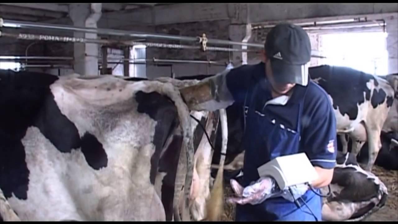 Как убедится в том, что ваша корова стельная?