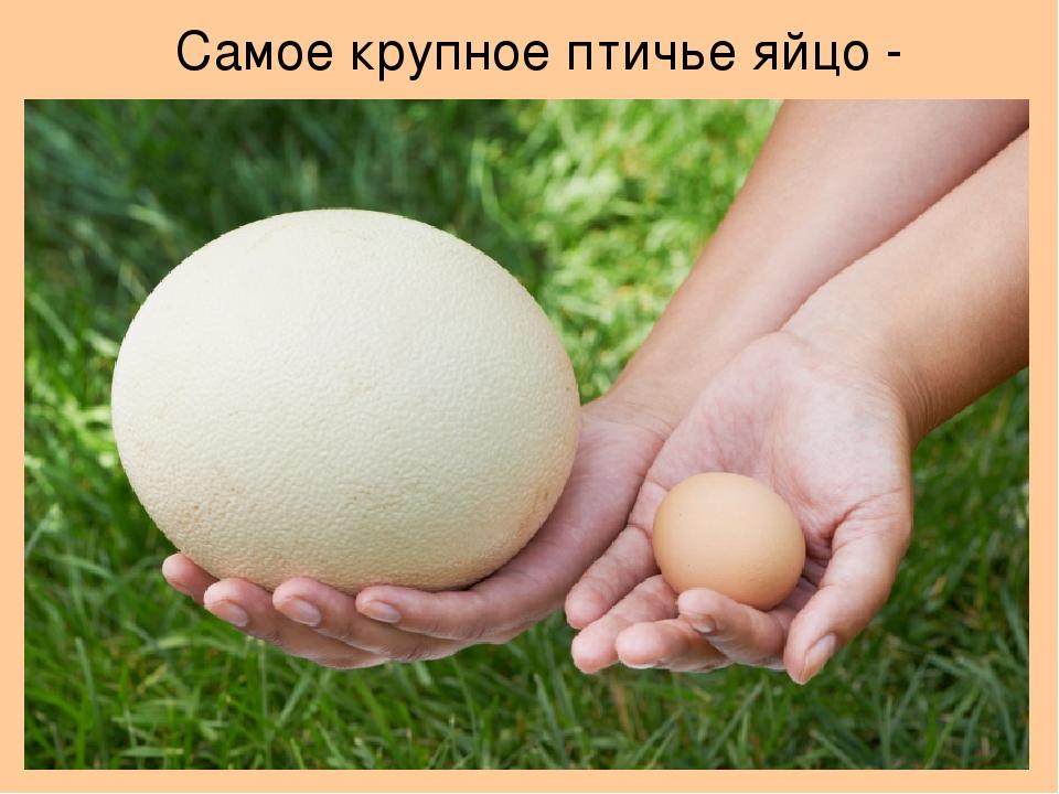 Сколько весит страусиное яйцо: интересные факты из жизни птиц