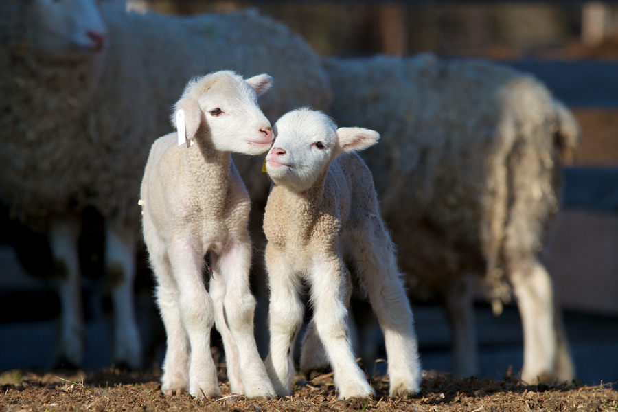 У вас родился малыш овцы? узнай как его называют