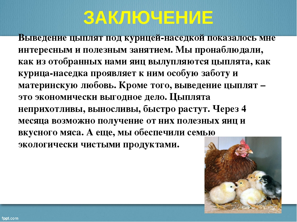 Сколько курица высиживает яйца: выбор наседки и отбор яиц