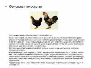 Пушкинские цыплята определение пола. где выращивается пушкинская порода кур: в чем ее своеобразие? чем и когда кормить