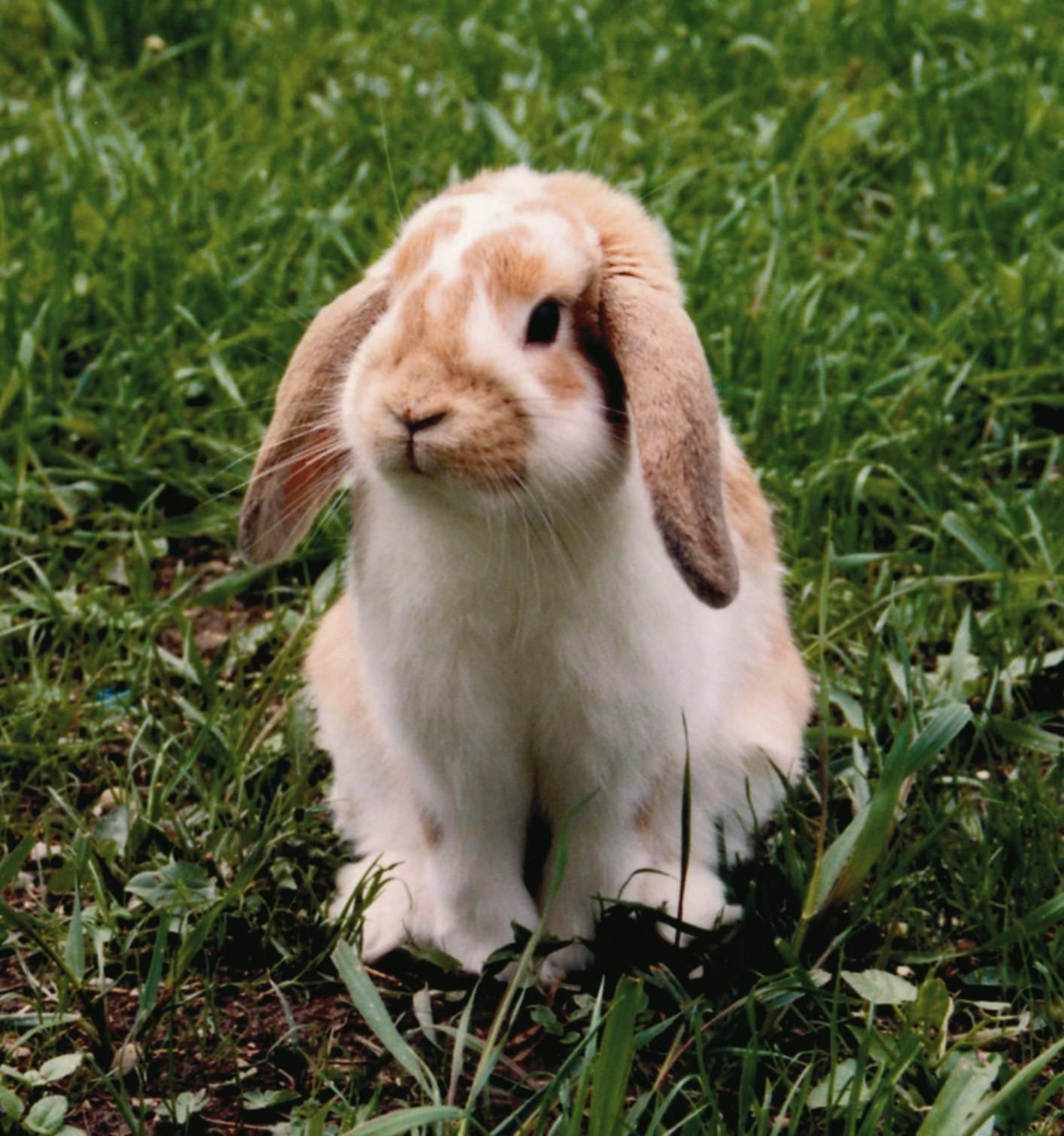 Карликовый кролик и его разновидности