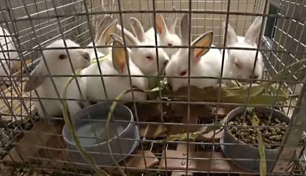В каком возрасте и когда отсаживают крольчат от крольчихи или через сколько дней можно отсаживать: советы с видео