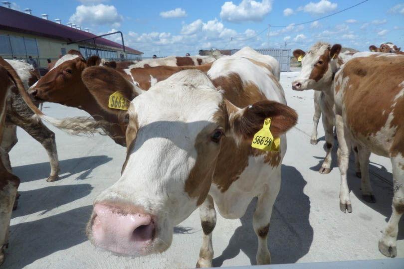 Мясной скот в россии - разведение крупного рогатого скота мясных пород