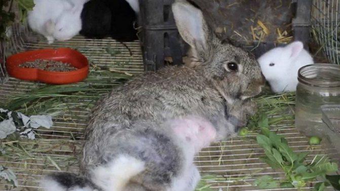 Чем кормить крольчиху после окрола, чтобы было молоко