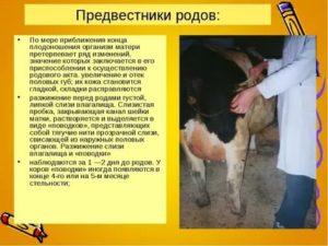 Сколько длятся роды у коровы