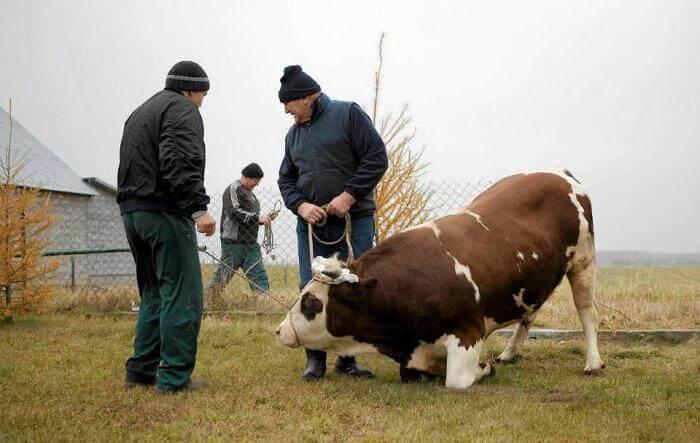 Забой быков: как зарезать и разделать?