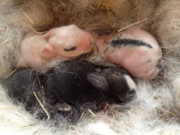 Когда кролики открывают глаза, сколько живут в гнезде и когда выходят