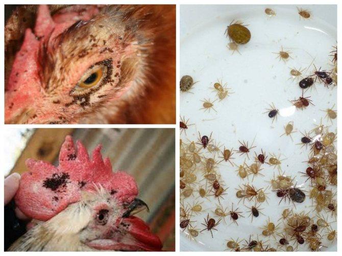 Пухоеды и пероеды у кур – как избавиться?