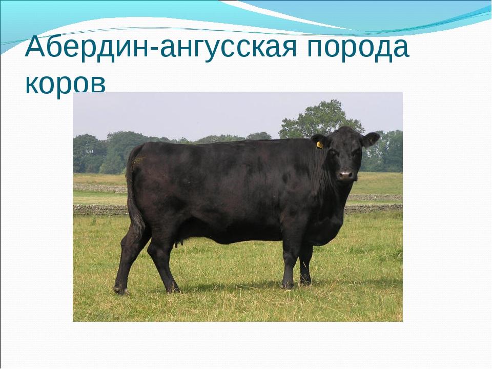 Коровы герефордской породы: описание содержания и продуктивности