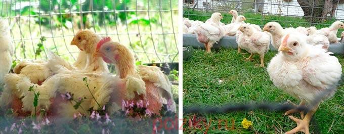 Трава в рационе маленьких цыплят