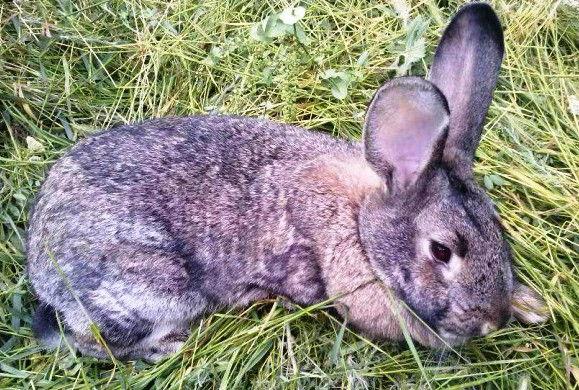 Кокцидиоз у кроликов: лечение народными средствами, симптомы