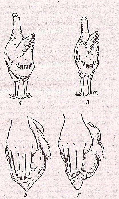 Как правильно определить возраст курицы несушки: описание, фото и видео