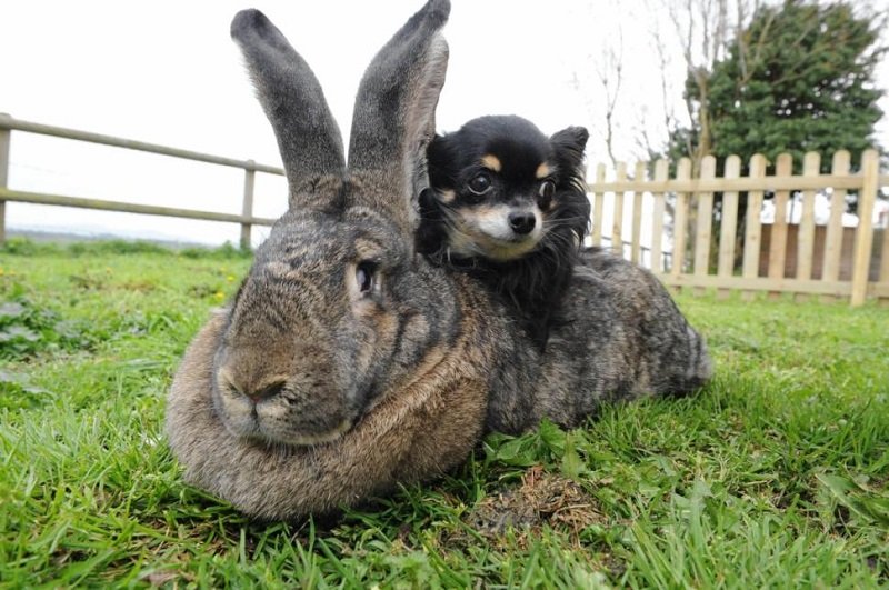 Самый большой кролик в мире: фото и описание породы