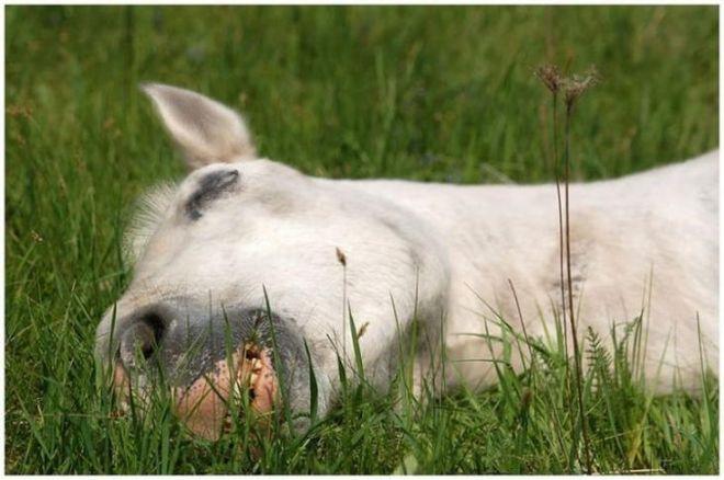 Как обычно спит лошадь