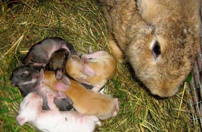 Выращивание новорожденных крольчат в домашних условиях