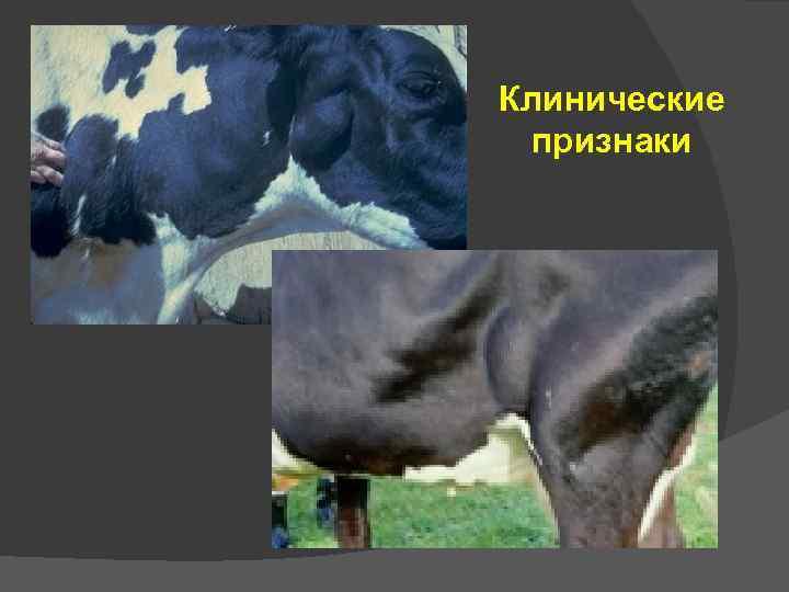 Лейкоз у коров: симптомы, причины, опасность заражения человека