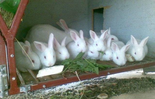 Подробные характеристики белых паннонов: особенности этой породы кроликов