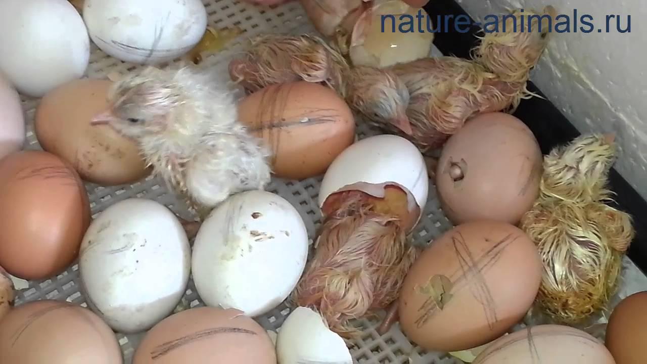 Как вылупляются цыплята в домашних условиях: подробное описание появления на свет крохотного птенца